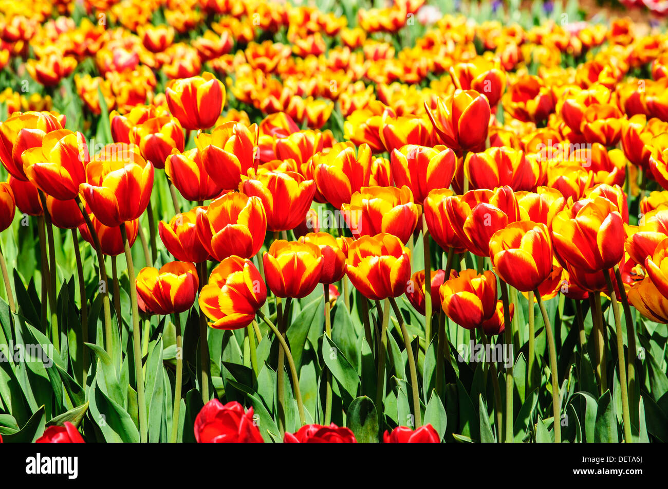 Picture of tulips in the farm on the sunny day Stock Photo
