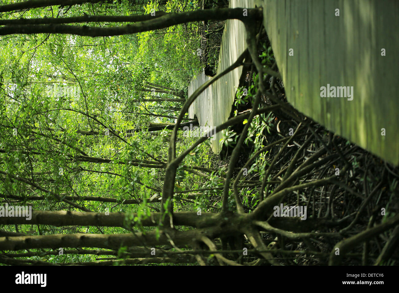 Mangrove forest in Kalimantan - Stock Image