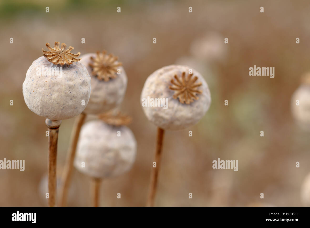 Detail of dry tree poppyheads on the field with shallow focus - Stock Image