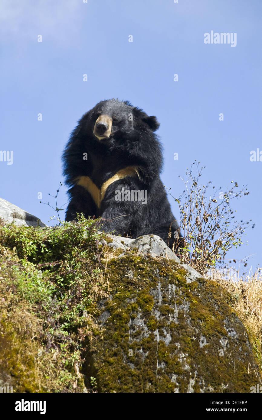 India, West Bengal, Darjeeling, Himalayan black bear - Stock Image