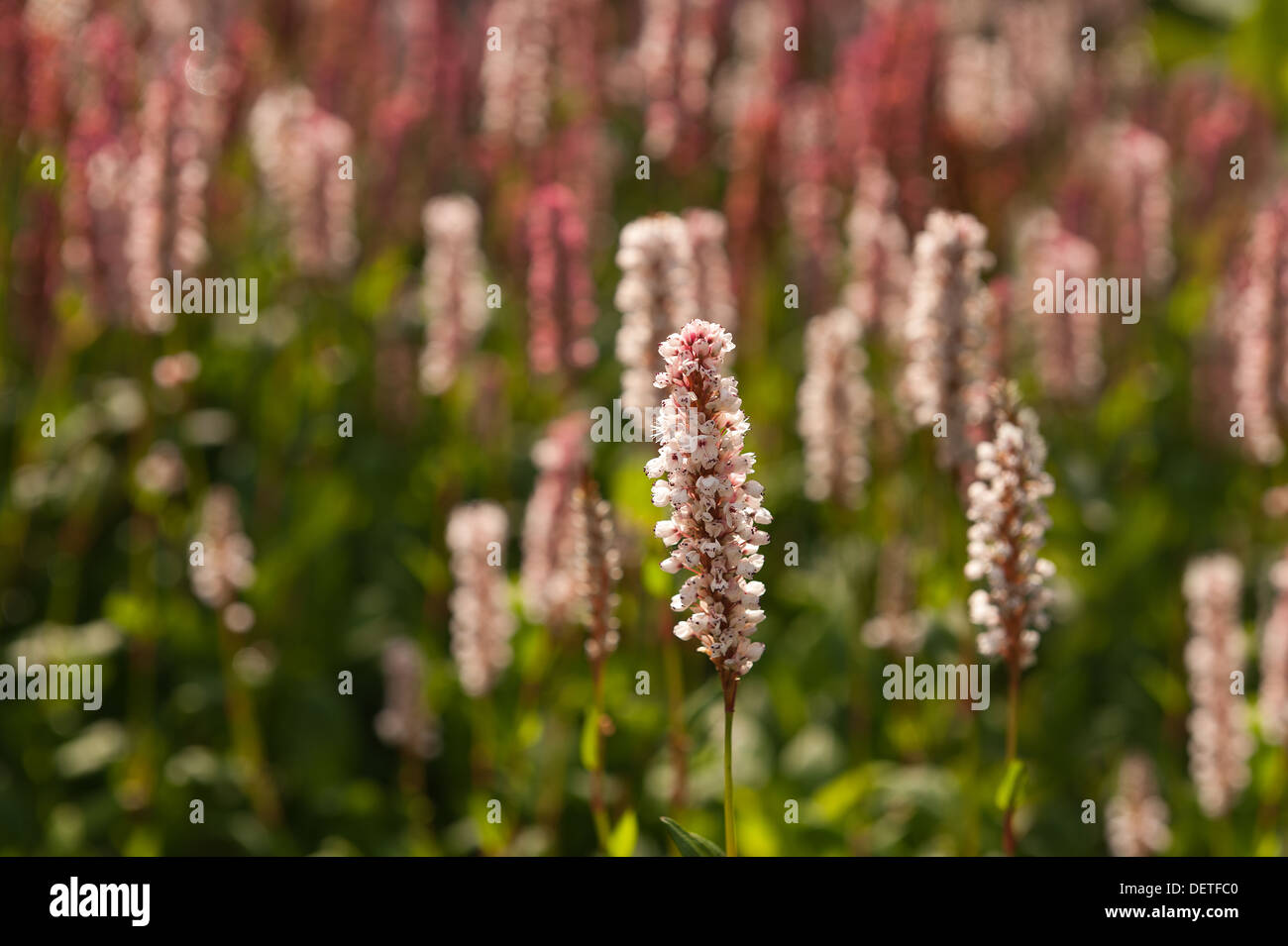 Pink red white blooms of persicaria affinis fleece flower himalayan pink red white blooms of persicaria affinis fleece flower himalayan knotweed contrast with green leaves mightylinksfo