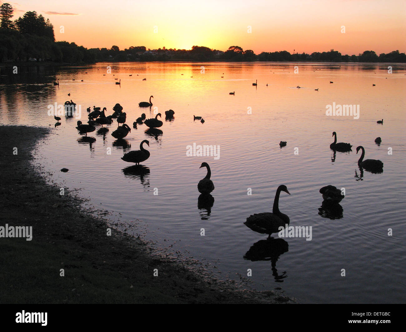 Waterfowl at sunset at Lake Monger in Perth, Western Australia. - Stock Image