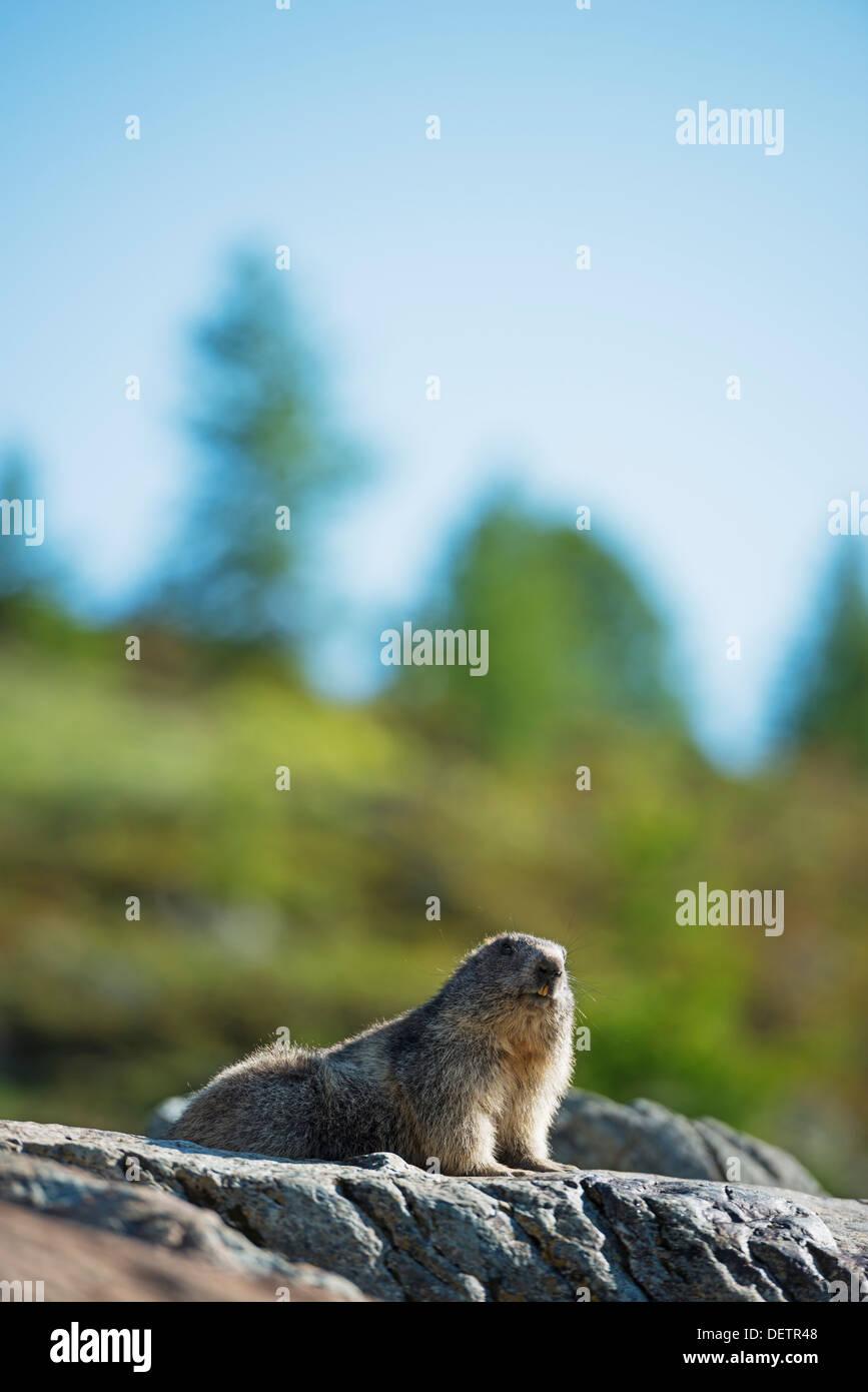 Europe, Valais, Swiss Alps, Switzerland, Zermatt, Marmot (Marmota marmota) - Stock Image