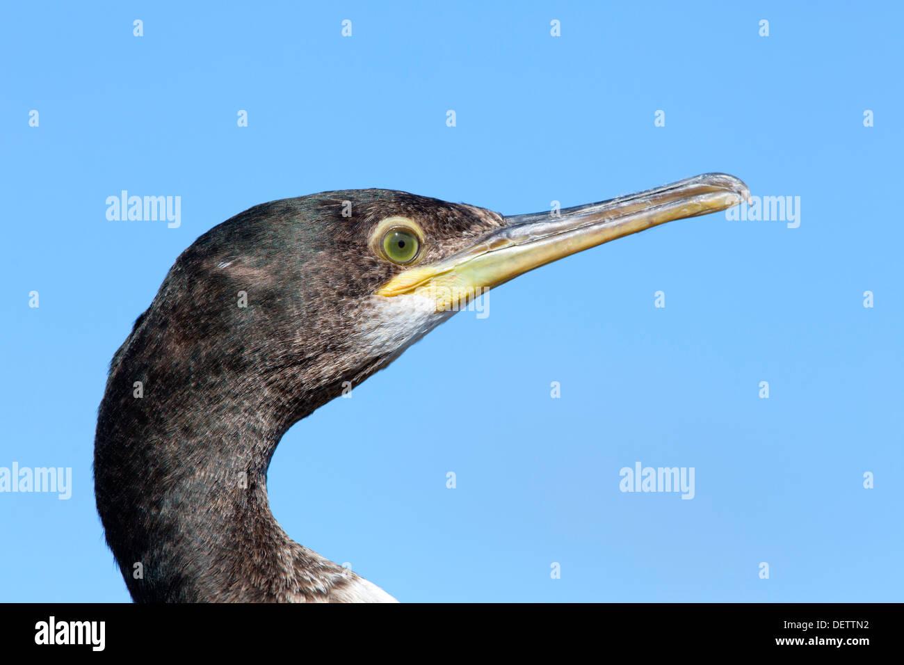 Shag; Phalacrocorax aristotelis; Shetland; UK - Stock Image