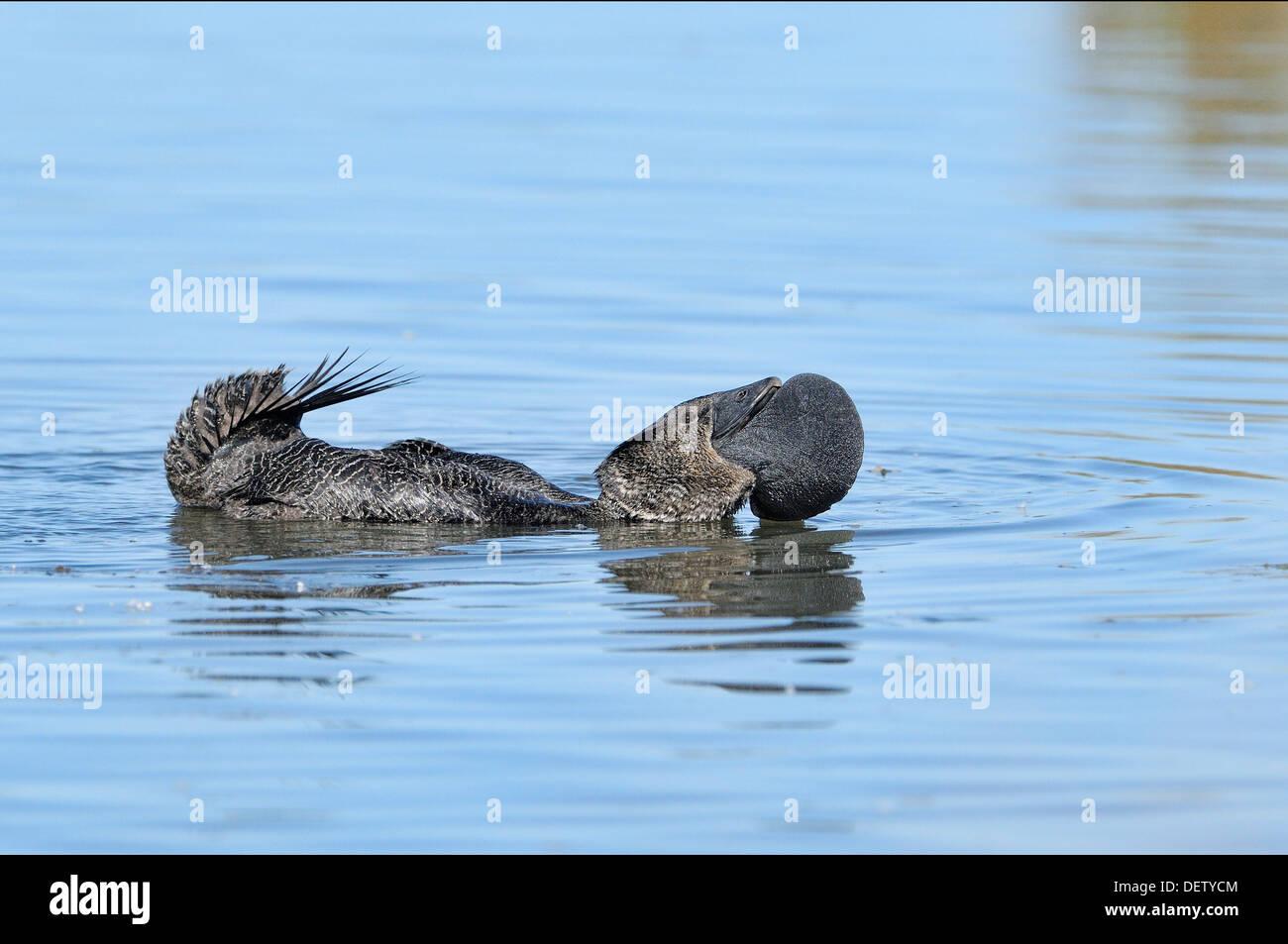 Musk Duck Biziura lobata Male displaying Photographed in Victoria, Australia - Stock Image
