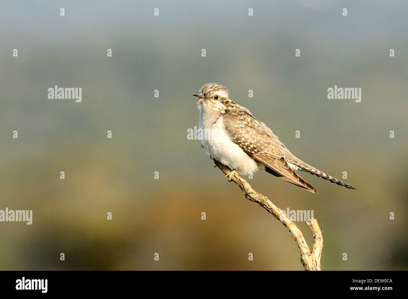 Pallid Cuckoo Cuculus pallidus Photographed in Tasmania - Stock Image