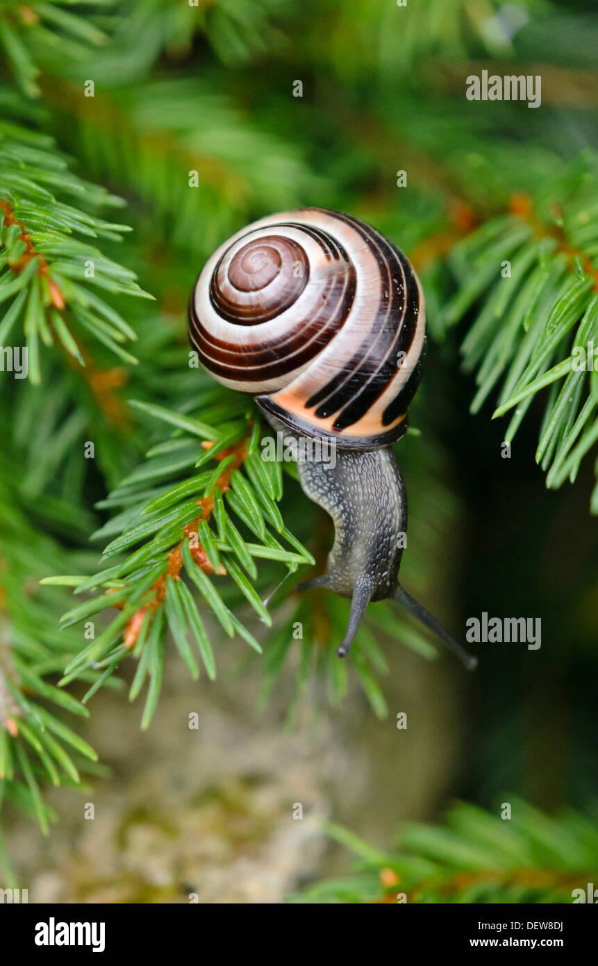 White-lipped snail (Cepaea hortensis) - Stock Image