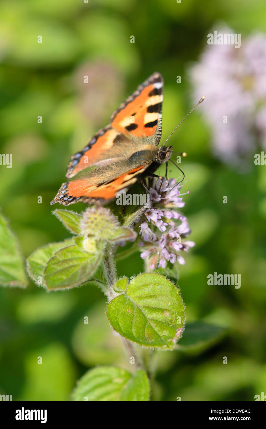 Water mint (Mentha aquatica) and small tortoiseshell (Aglais urticae) - Stock Image