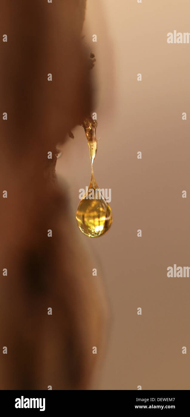 A drop of resin forming from a tree trunk - Stock Image
