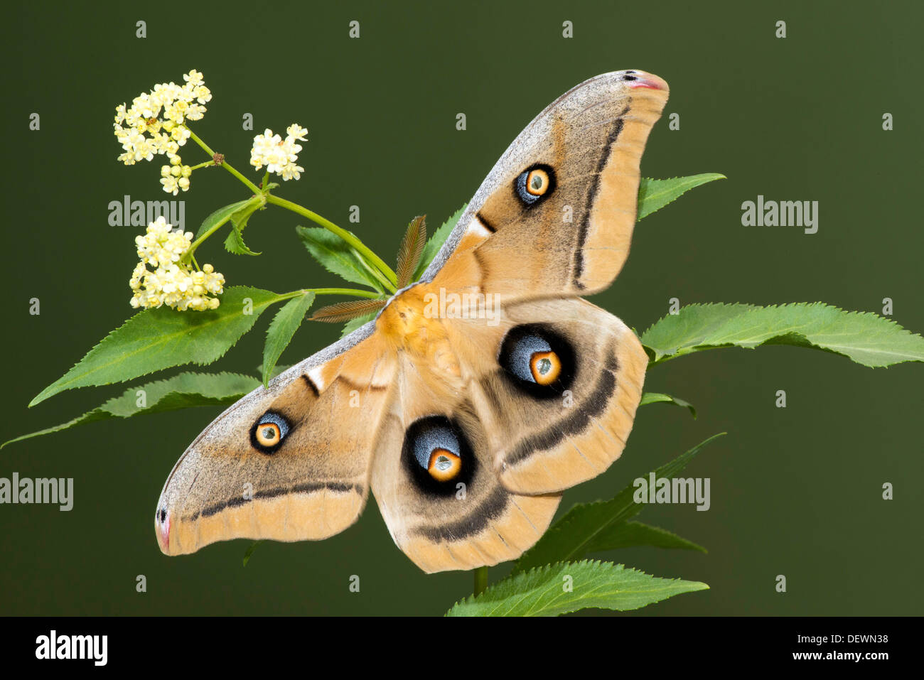 Polyphemus Moth Antheraea polyphemus Tucson, Arizona, United States 15 August Adult Saturniidae - Stock Image