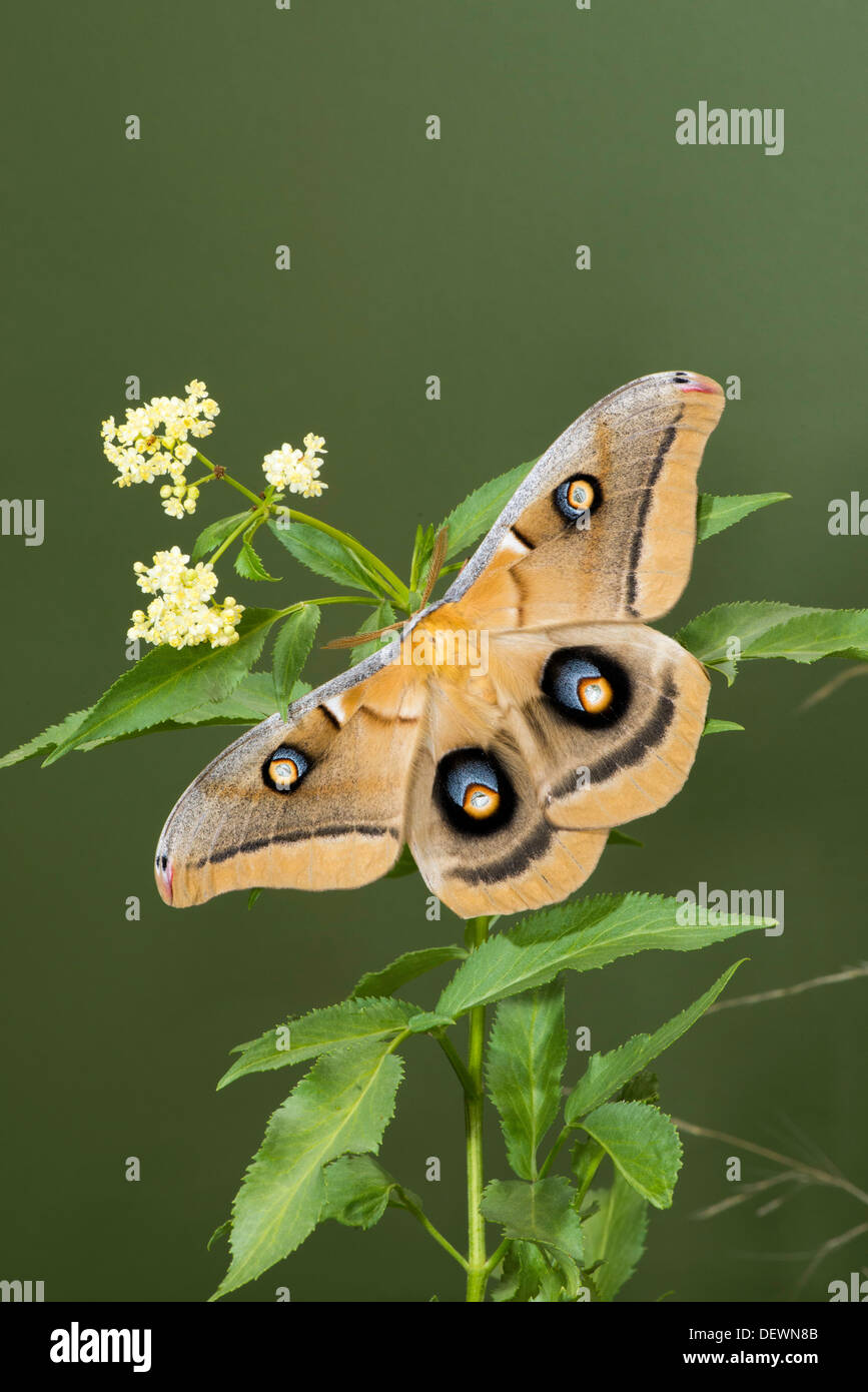 Polyphemus Moth Antheraea polyphemus Tucson, Arizona, United States 15 August Adult Saturniidae - Stock Image