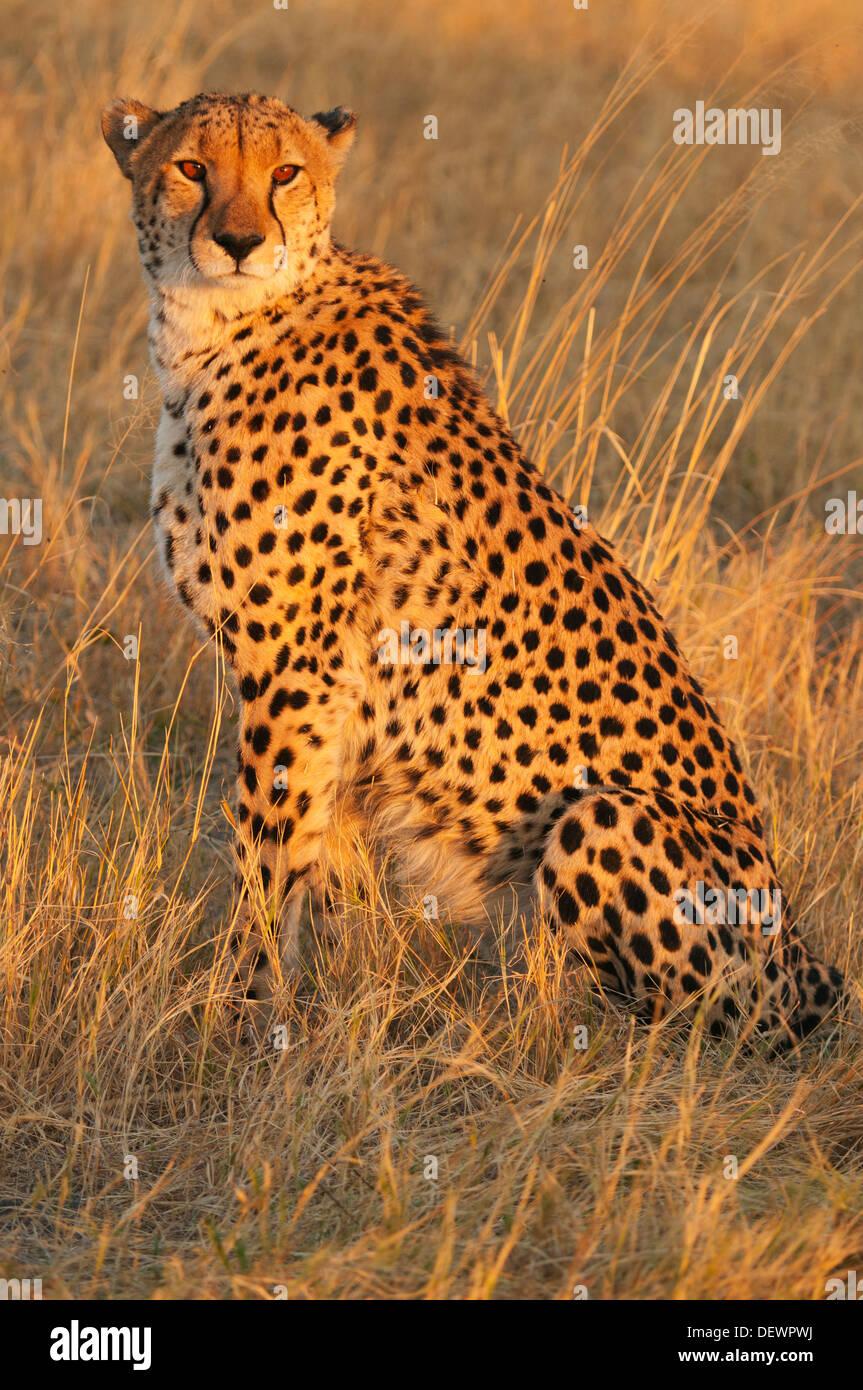 Cheetah (Acinonyx jubatus) male hunting at sunset, Okavango Delta, Botswana - Stock Image