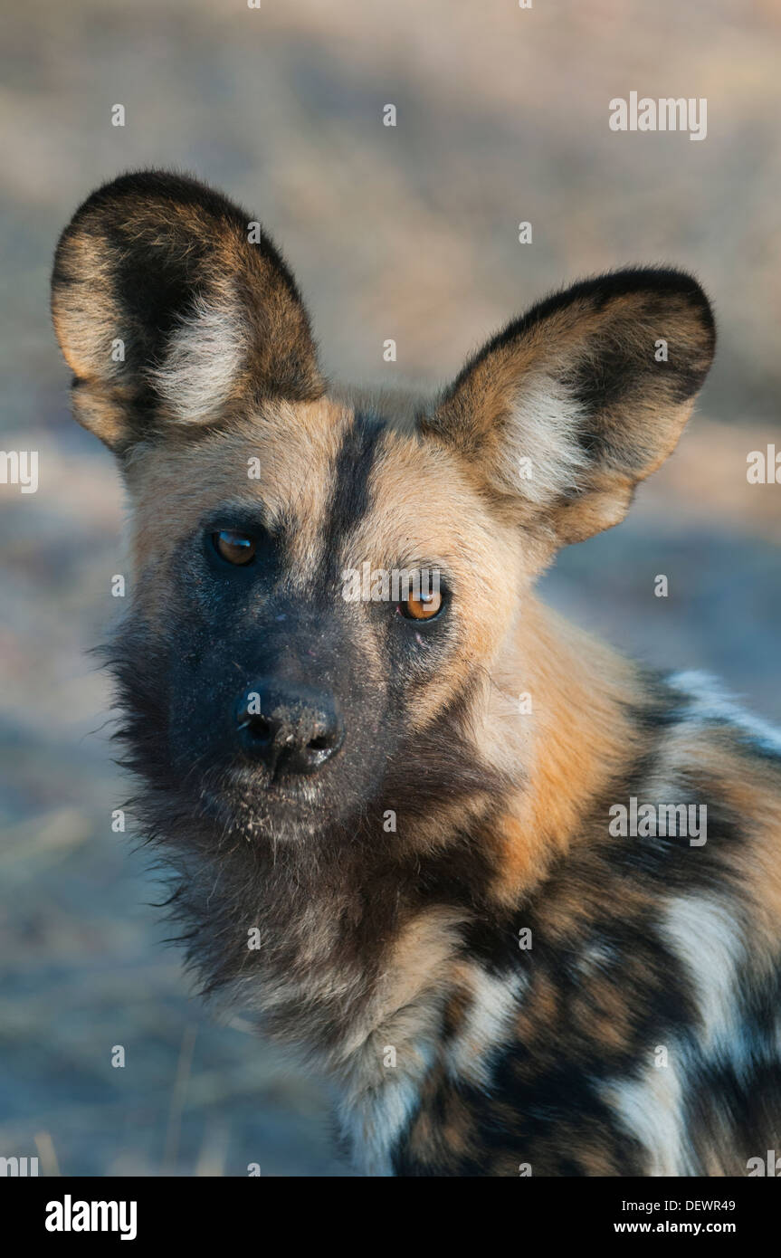 African Wild Dog (Lycaon pictus) Okavango Delta, Botswana - Stock Image