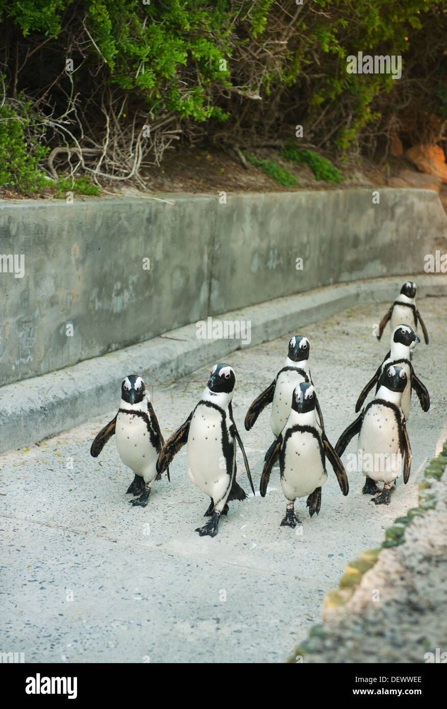 African Penguin (Spheniscus demersus) Wild, Walking up concrete path, Boulders Beach, Cape Peninsula, South Africa ENDANGERED - Stock Image