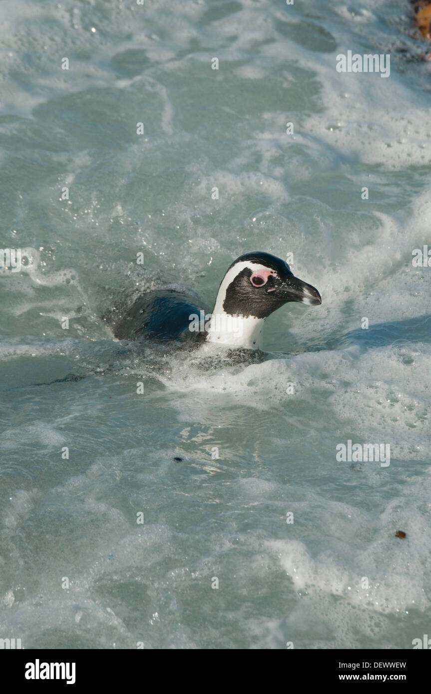 African Penguin (Spheniscus demersus) Wild, Swimming, Betty's Bay, Western Cape, South Africa ENDANGERED - Stock Image