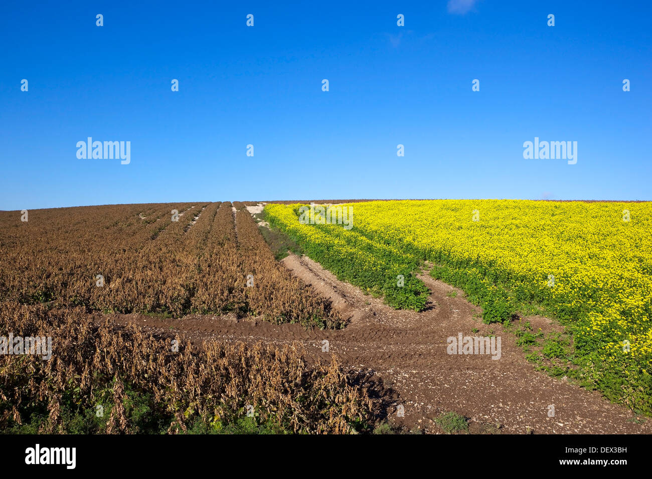 Agricultural Crops With Yellow Mustard Flowers And Brown Potato
