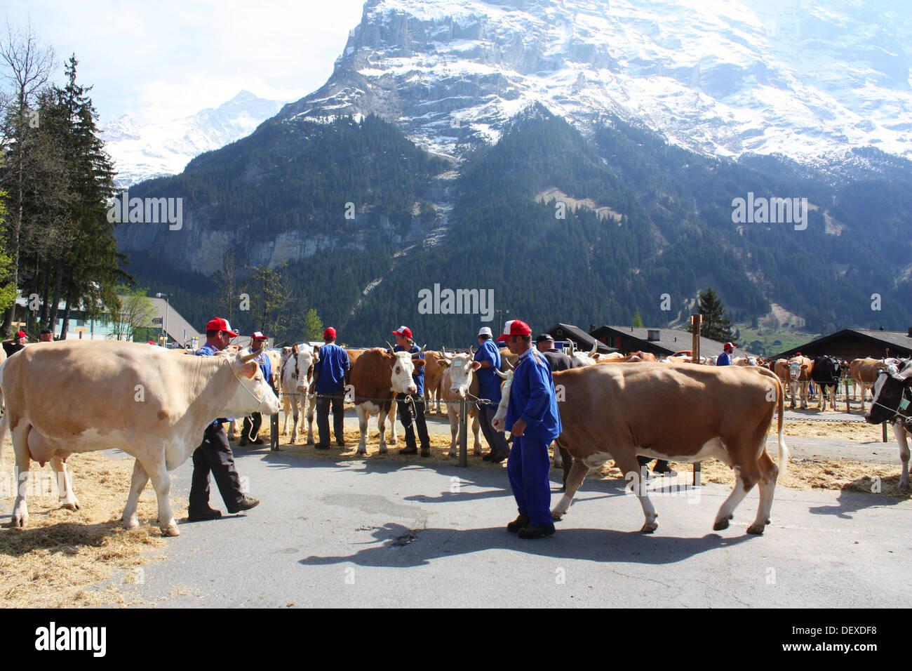 Cows show in Grindelwald, Switzerland Stock Photo