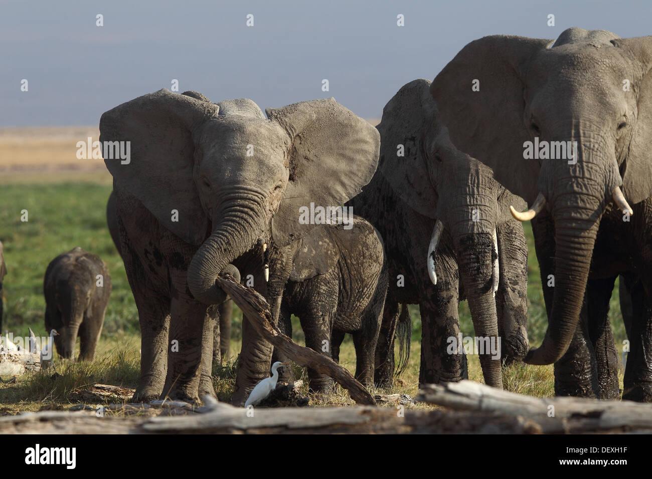 African Elephant Herd in Amboseli National Park, Kenya - Stock Image