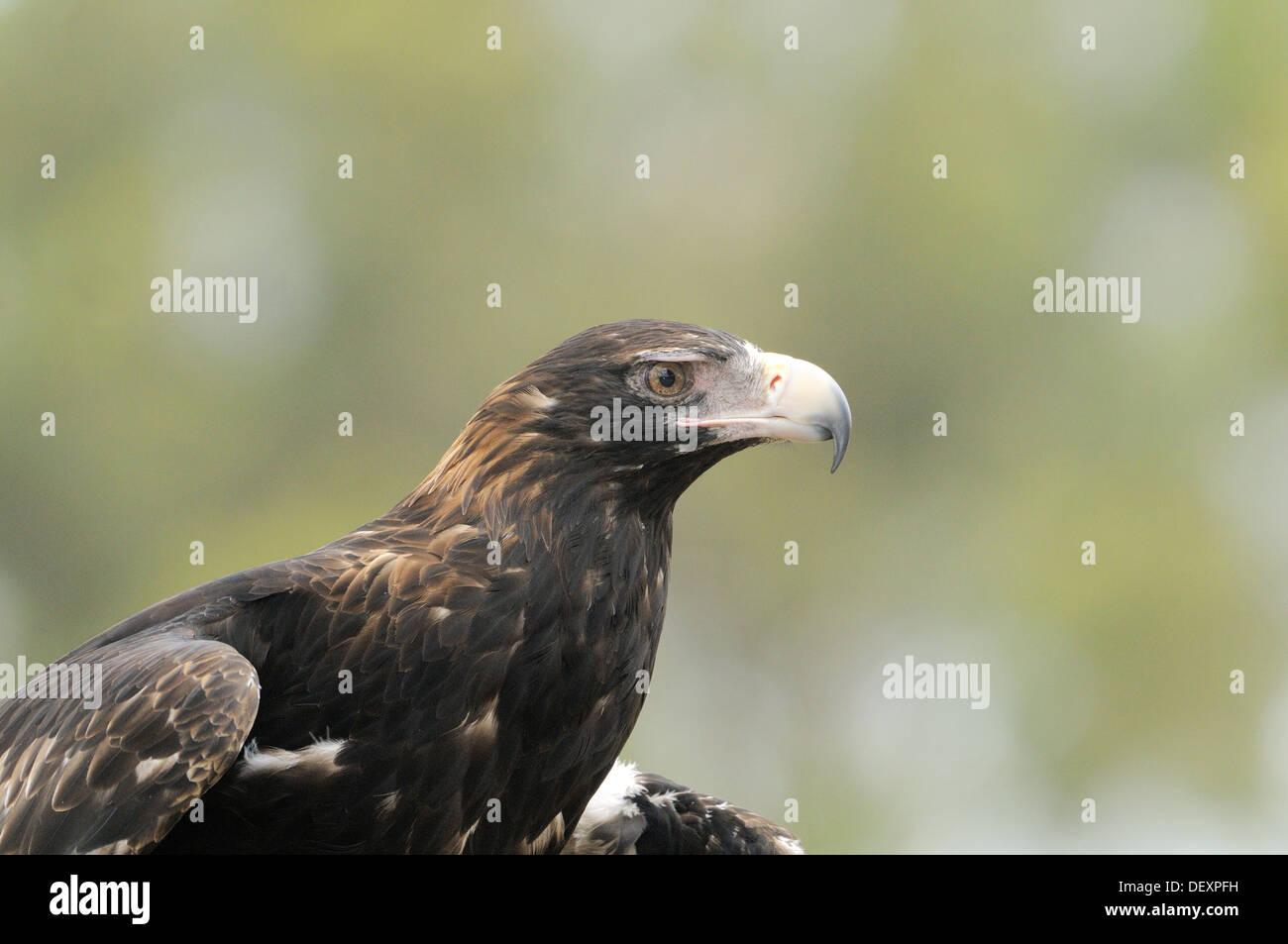 Wedge-tailed Eagle Aquila audax Adult Head close up Photographed in Tasmania, Australia - Stock Image