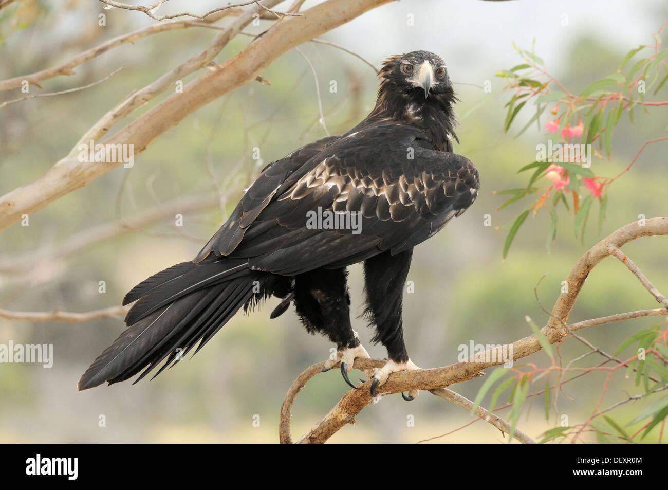 Wedge-tailed Eagle Aquila audax Adult Photographed in Tasmania, Australia - Stock Image