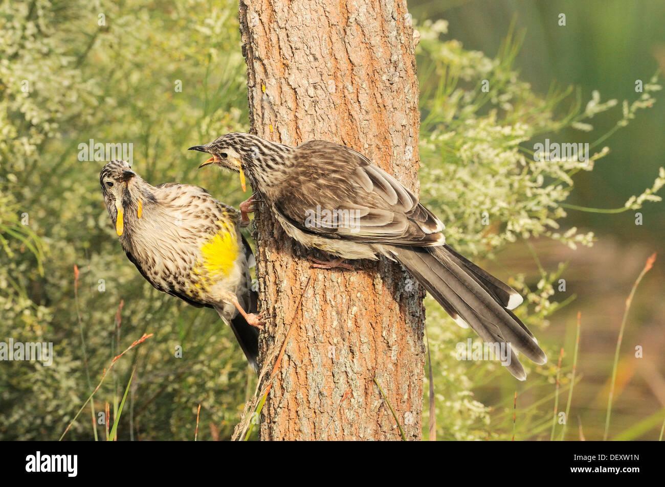 Yellow Wattlebird Anthochaera paradoxa Endemic to Tasmania Photographed in Tasmania, Australia - Stock Image