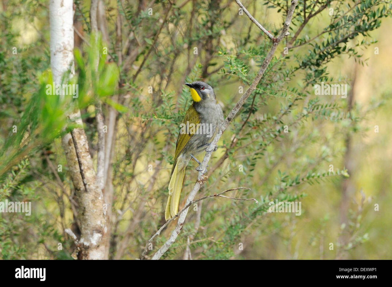 Yellow-throated Honeyeater Lichenostomus flavicollis Tasmanian endemic Photographed in Tasmania, Australia - Stock Image