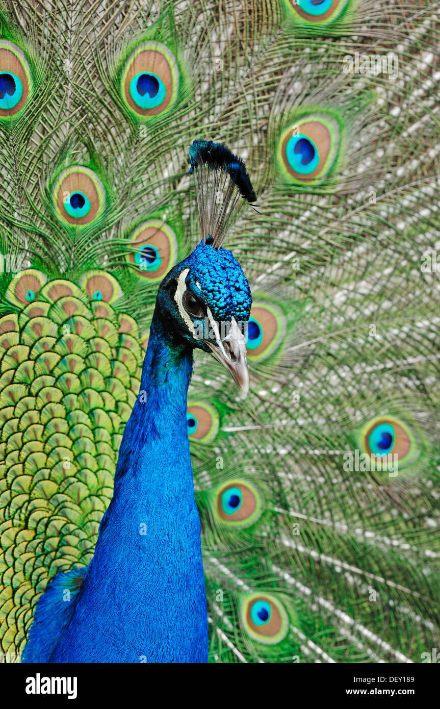 Indian Peafowl or Blue Peafowl (Pavo cristatus), male plumage during a courtship display, native to India Stock Photo
