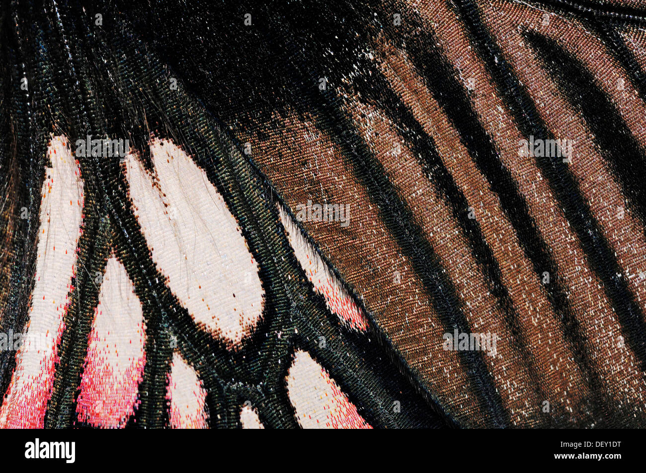 Great Mormon Butterfly (Papilio memnon), wing detail, native to Asia and Australia, in captivity, Netherlands, Europe - Stock Image