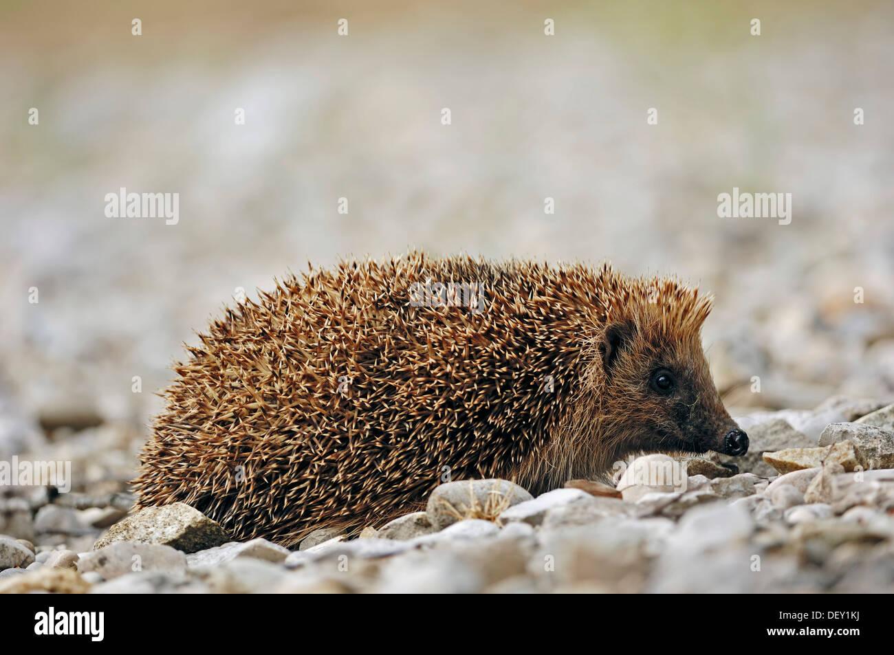 European Hedgehog (Erinaceus europaeus), France, Europe Stock Photo