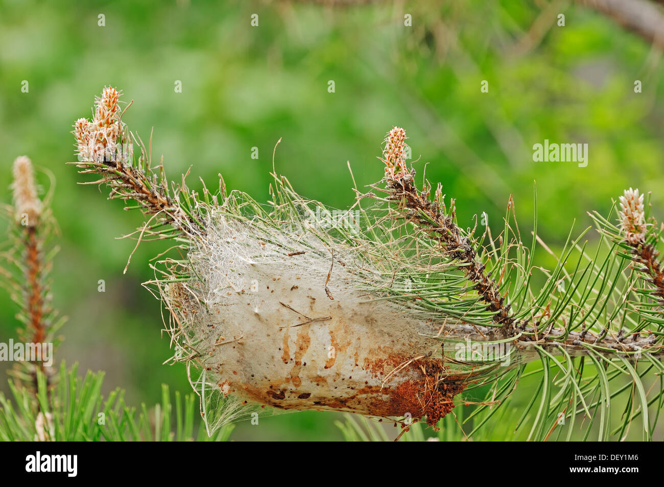 Pine Processionary Moth (Thaumetopoea pityocampa), caterpillar web, Provence, Southern France, France, Europe - Stock Image