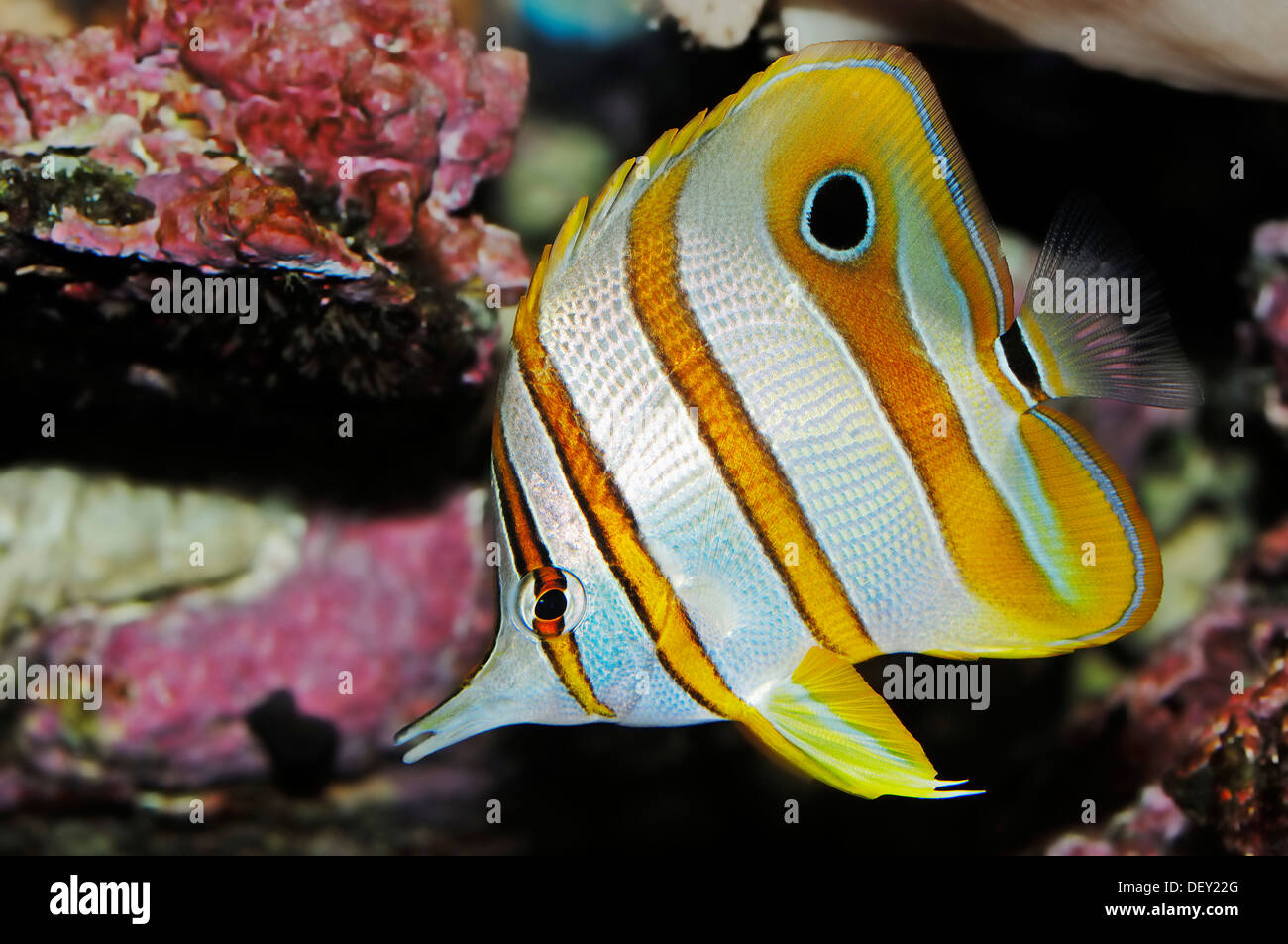 Copperband Butterflyfish or Beak Coralfish (Chelmon rostratus), native to the Great Barrier Reef and the Indo-Pacific - Stock Image