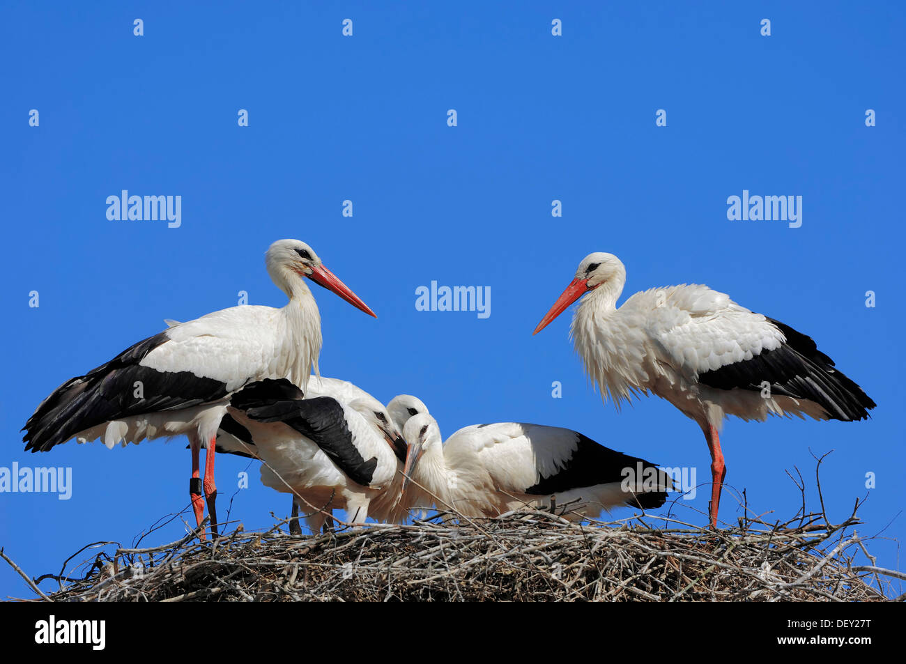 White Storks (Ciconia ciconia), pair with young birds in the nest, North Rhine-Westphalia - Stock Image