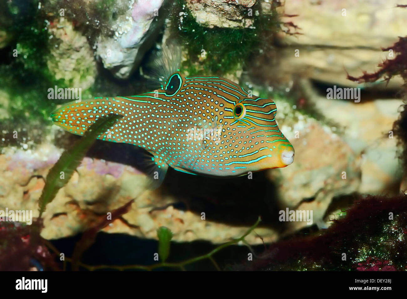 Papuan Toby or False-eye Toby (Canthigaster papua, Canthigaster solandri), native to the Great Barrier Reef Stock Photo
