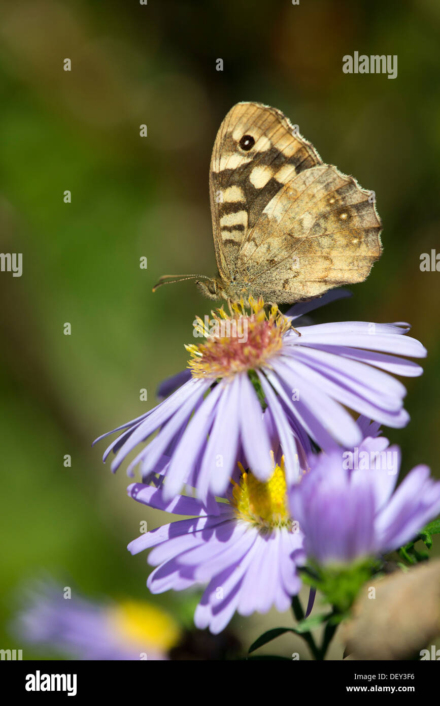 Speckled Wood butterfly (Pararge aegeria) - UK - Stock Image