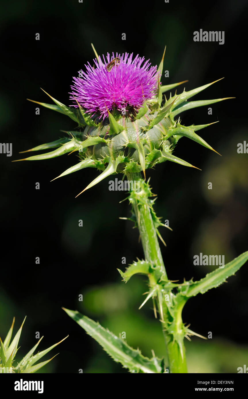 Milk Thistle (Silybum marianum), Provence, Southern France, France, Europe - Stock Image
