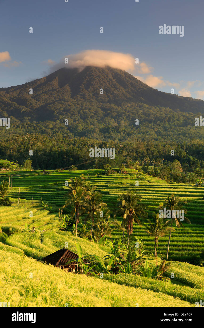 Indonesia, Bali, Central Mountains, Jatiluwih Rice Fields (UNESCO Site) with Mt. Pohen in the background - Stock Image