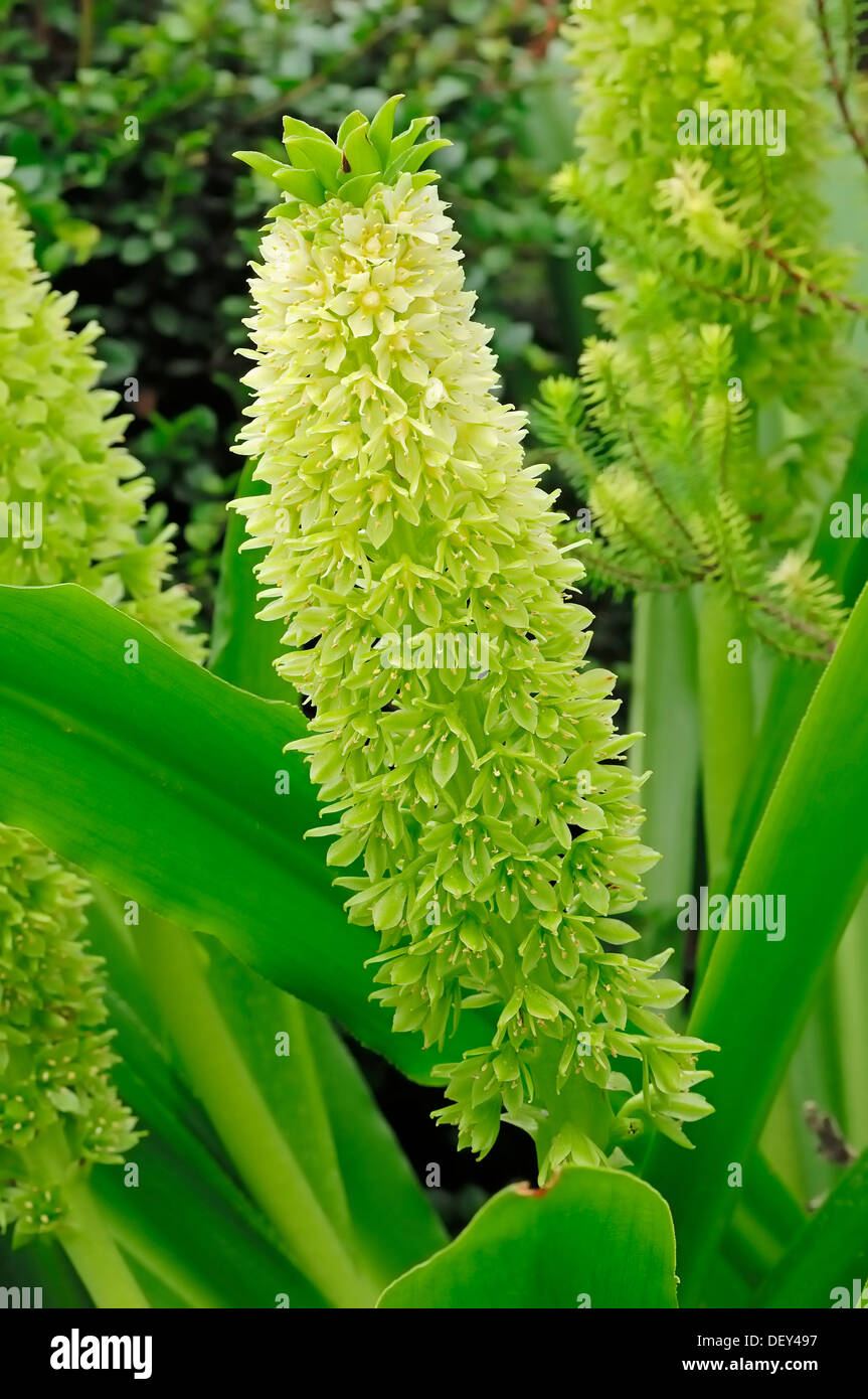 Pineapple Lily (Eucomis bicolor), native to Africa, ornamental plant Stock Photo
