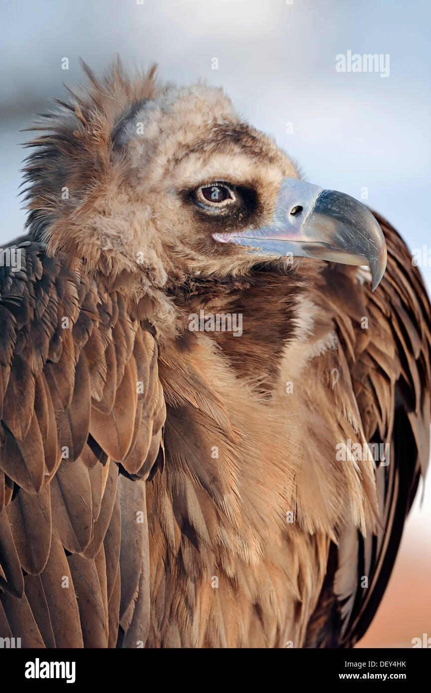 Cinereous Vulture, Black Vulture, Monk Vulture or Eurasian Black Vulture (Aegypius monachus), Southern Europen and Central Asian - Stock Image