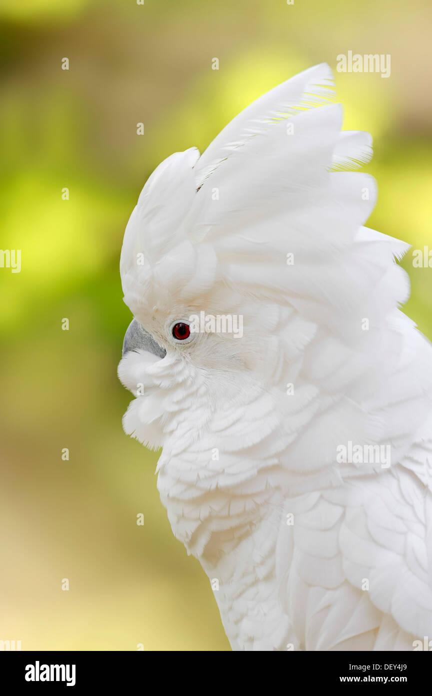 White Cockatoo or Umbrella Cockatoo (Cacatua alba), portrait, occurrence in Indonesia, captive, North Rhine-Westphalia, Germany - Stock Image