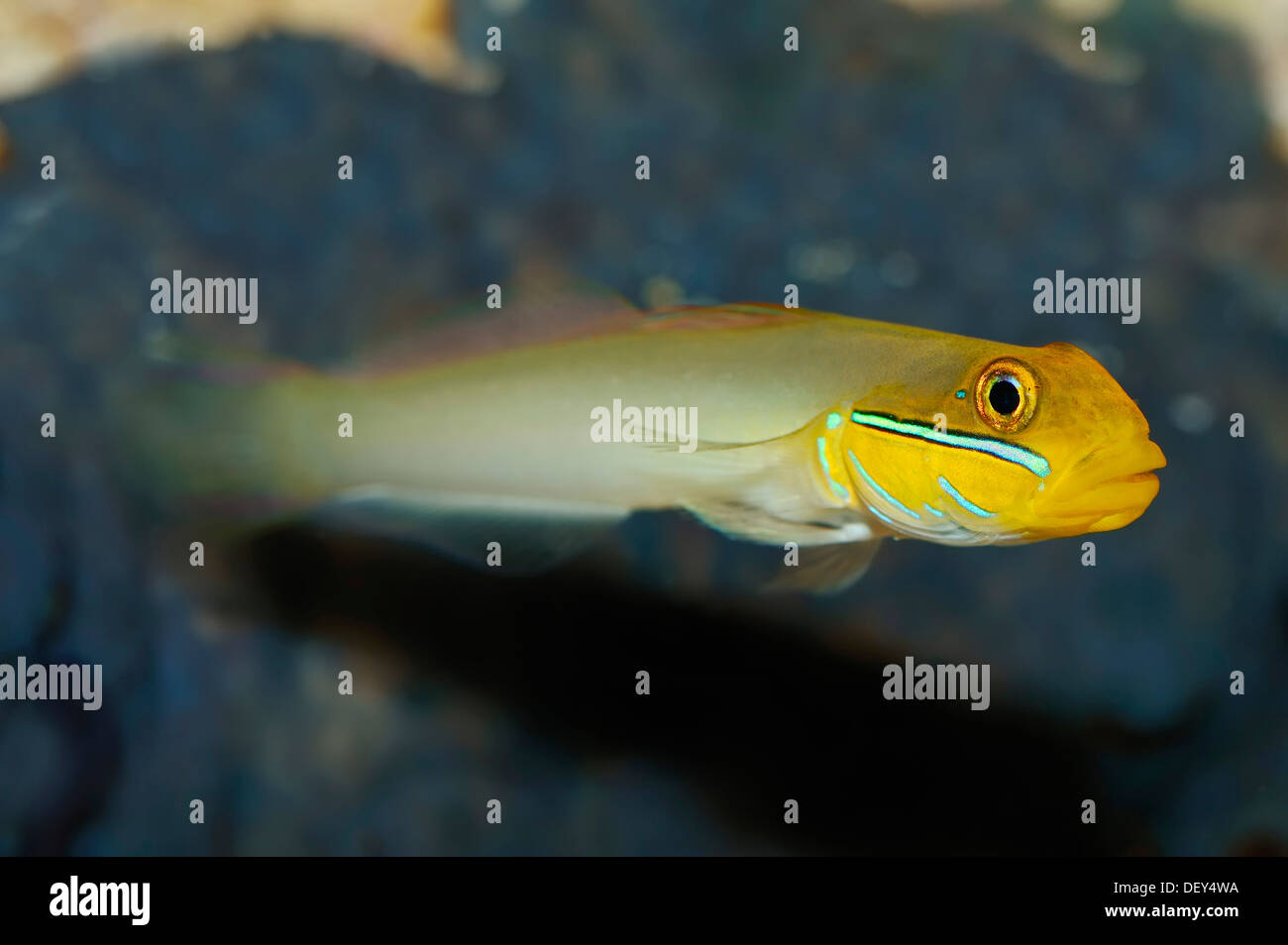 Sleeper Gold Head Goby (Valenciennea strigata), native to the tropical Indo-Pacific Ocean, captive, North Rhine-Westphalia - Stock Image
