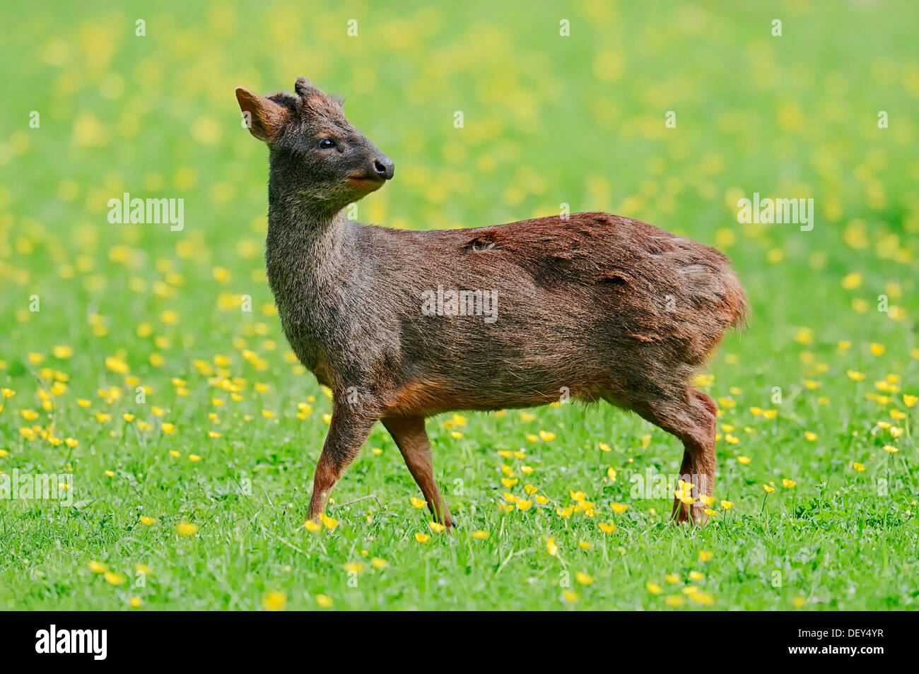 Southern Pudu (Pudu pudu), male standing in a flower meadow, native to South America, captive, The Netherlands - Stock Image