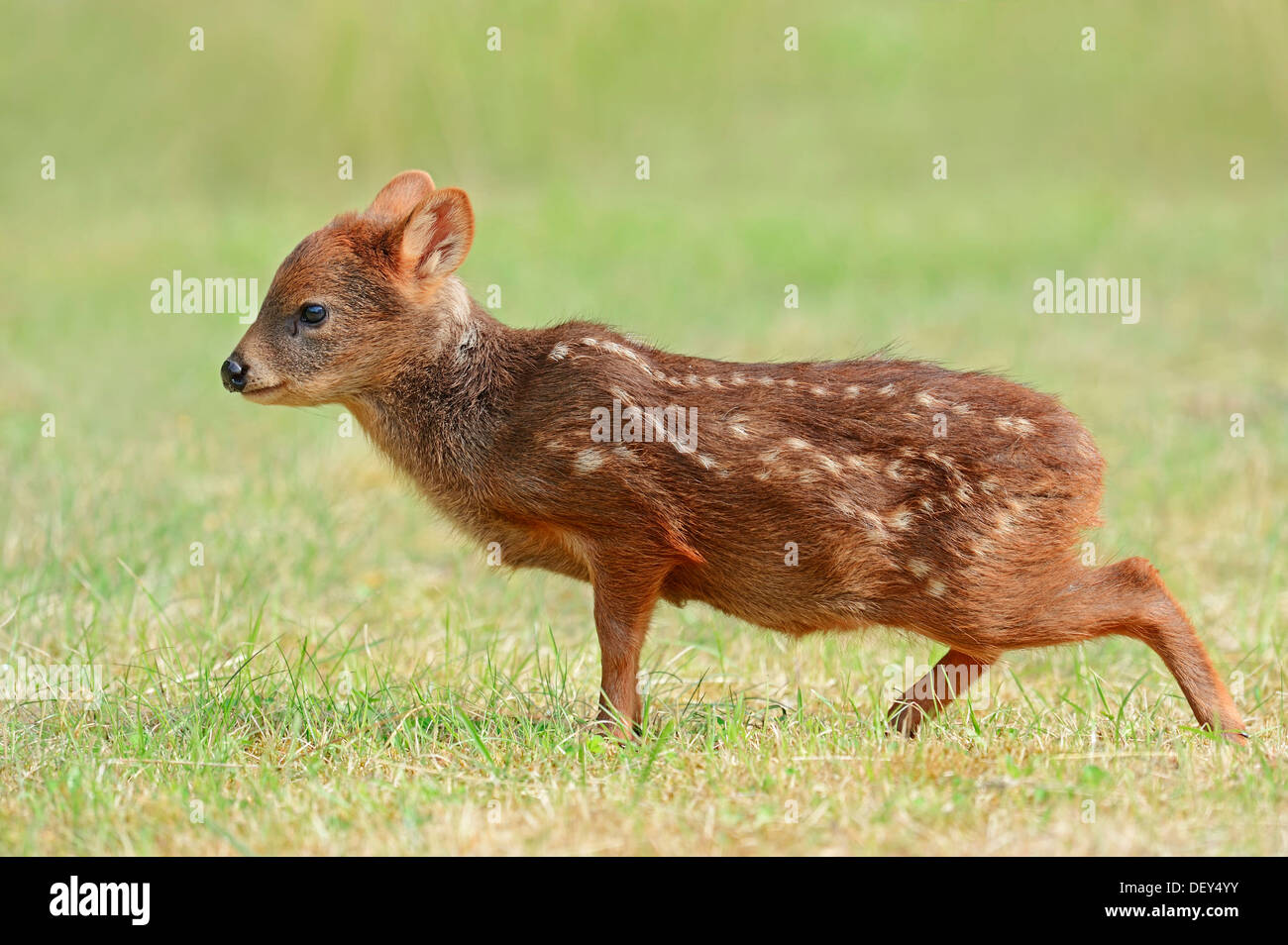 Southern Pudu (Pudu pudu), young, native to South America, captive, The Netherlands - Stock Image