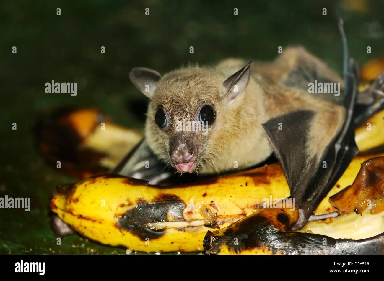 Egyptian fruit bat or Egyptian rousette (Rousettus aegyptiacus), male, feeding on a banana, native to Africa and Stock Photo