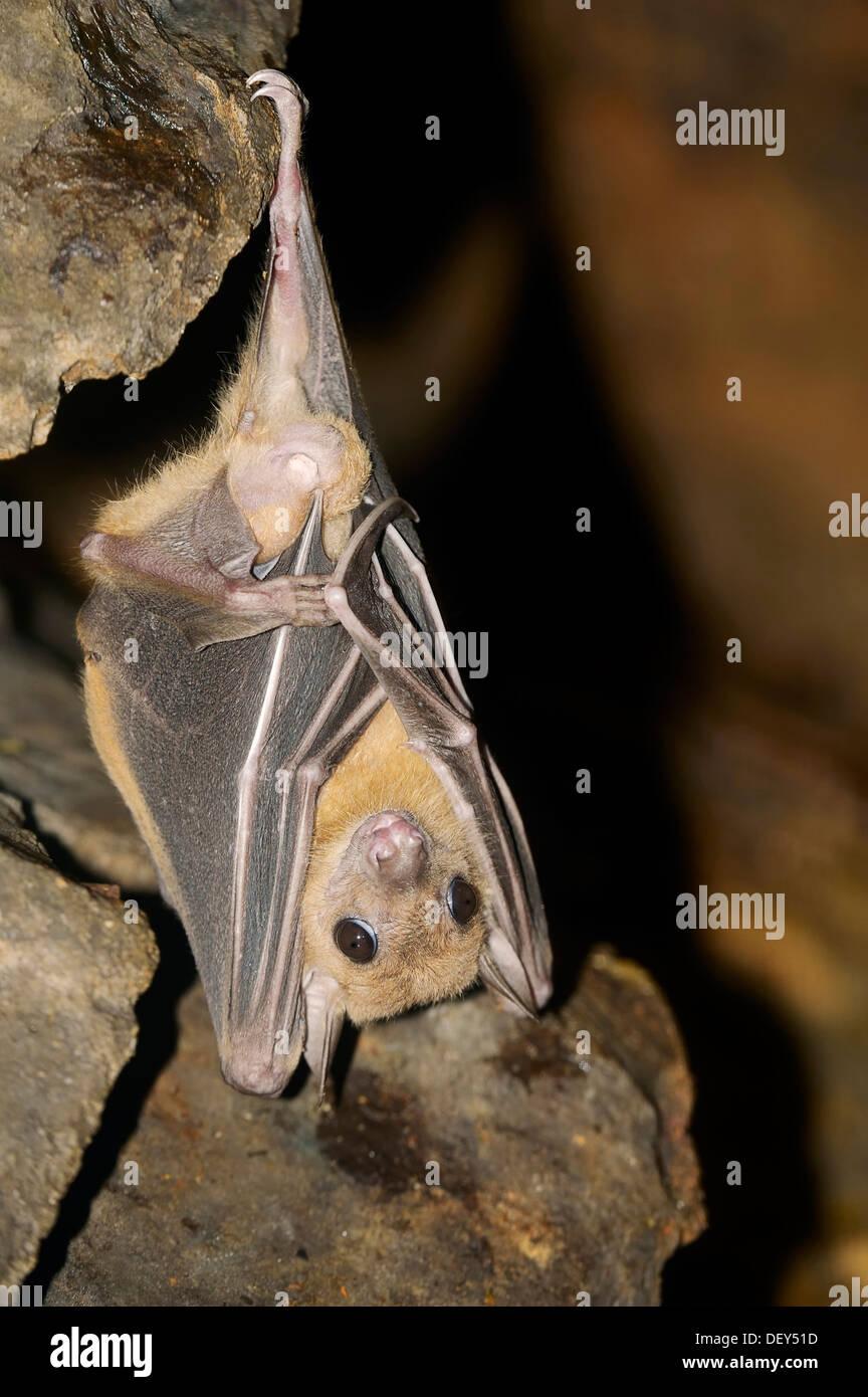 Egyptian fruit bat or Egyptian rousette (Rousettus aegyptiacus), male, native to Africa and the Arabian Peninsula, Stock Photo