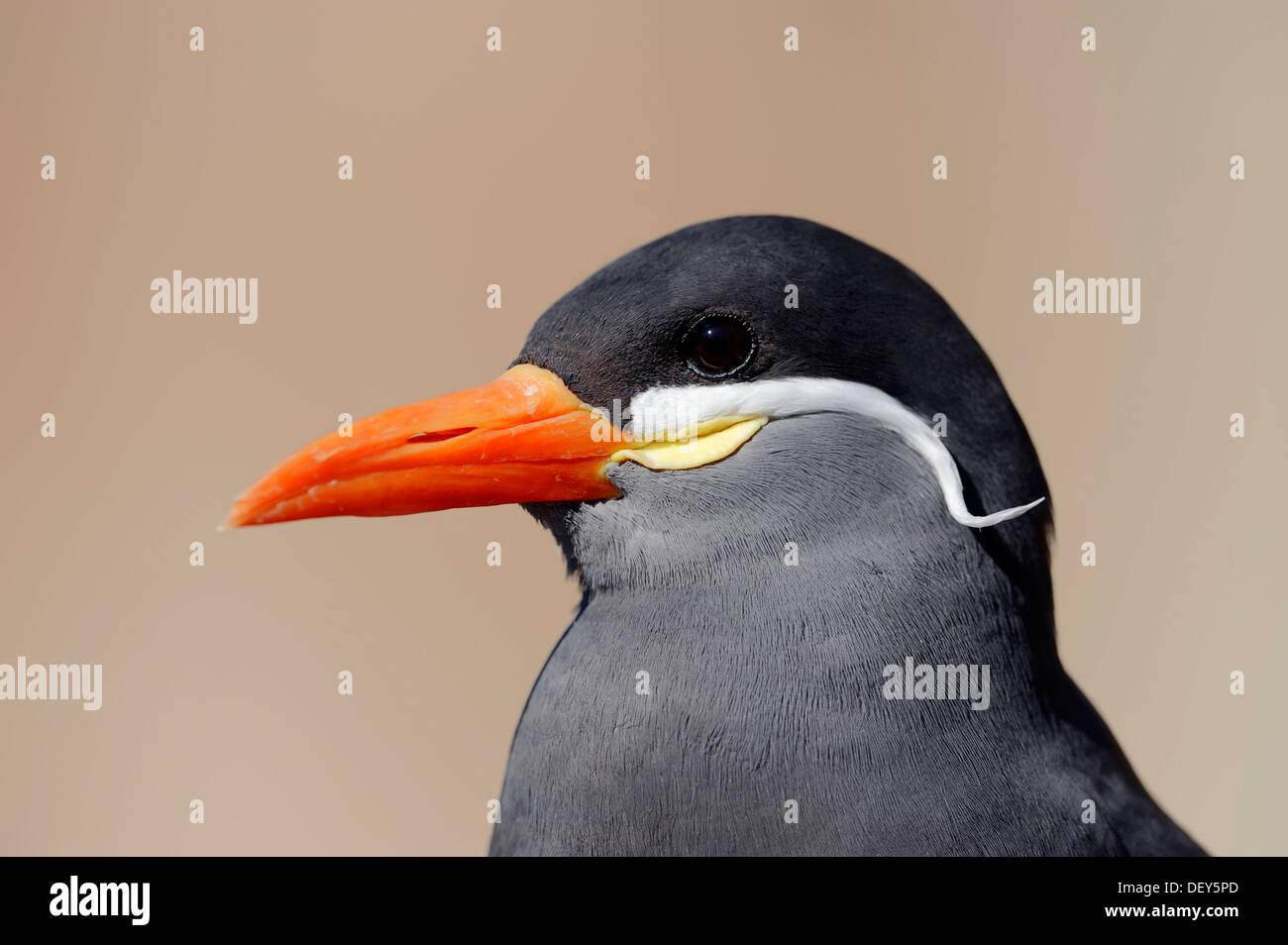 Inca Tern (Larosterna inca), portrait, occurrence in South America, captive, The Netherlands Stock Photo