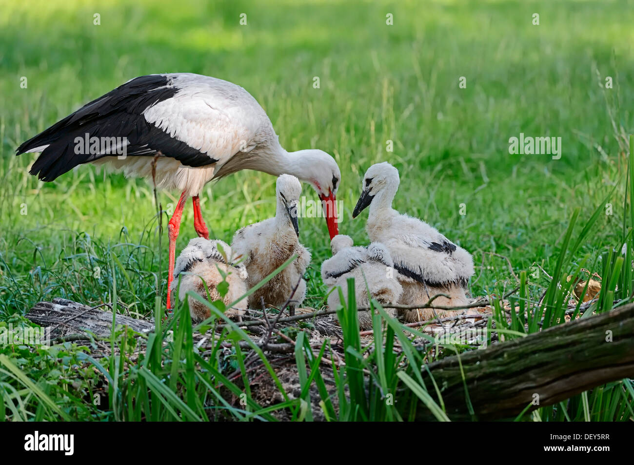 White Stork (Ciconia ciconia) with chicks in the nest, North Rhine-Westphalia, Germany Stock Photo