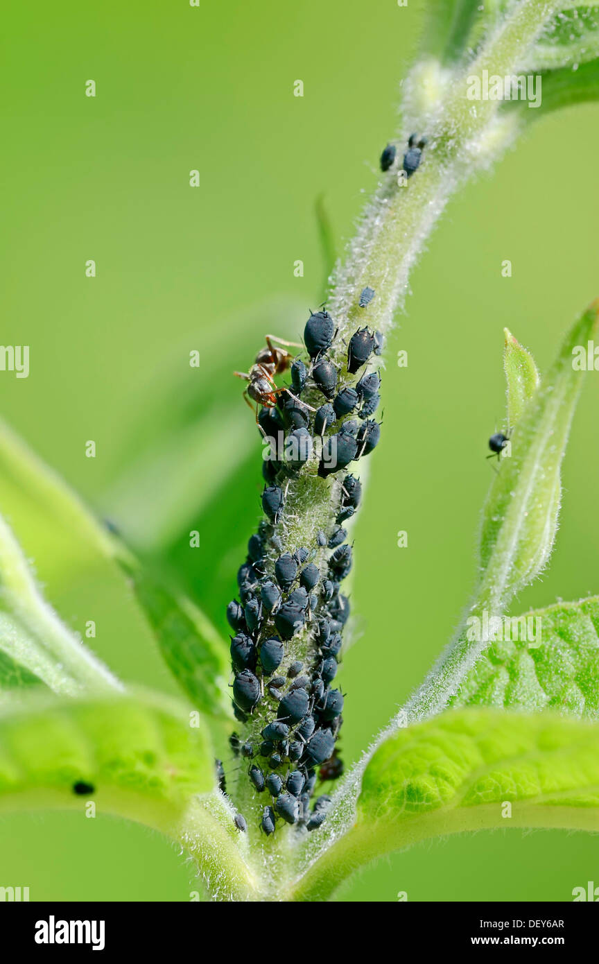 Ant (Formica sp.) and aphids (Aphis sp.), North Rhine-Westphalia, Germany - Stock Image