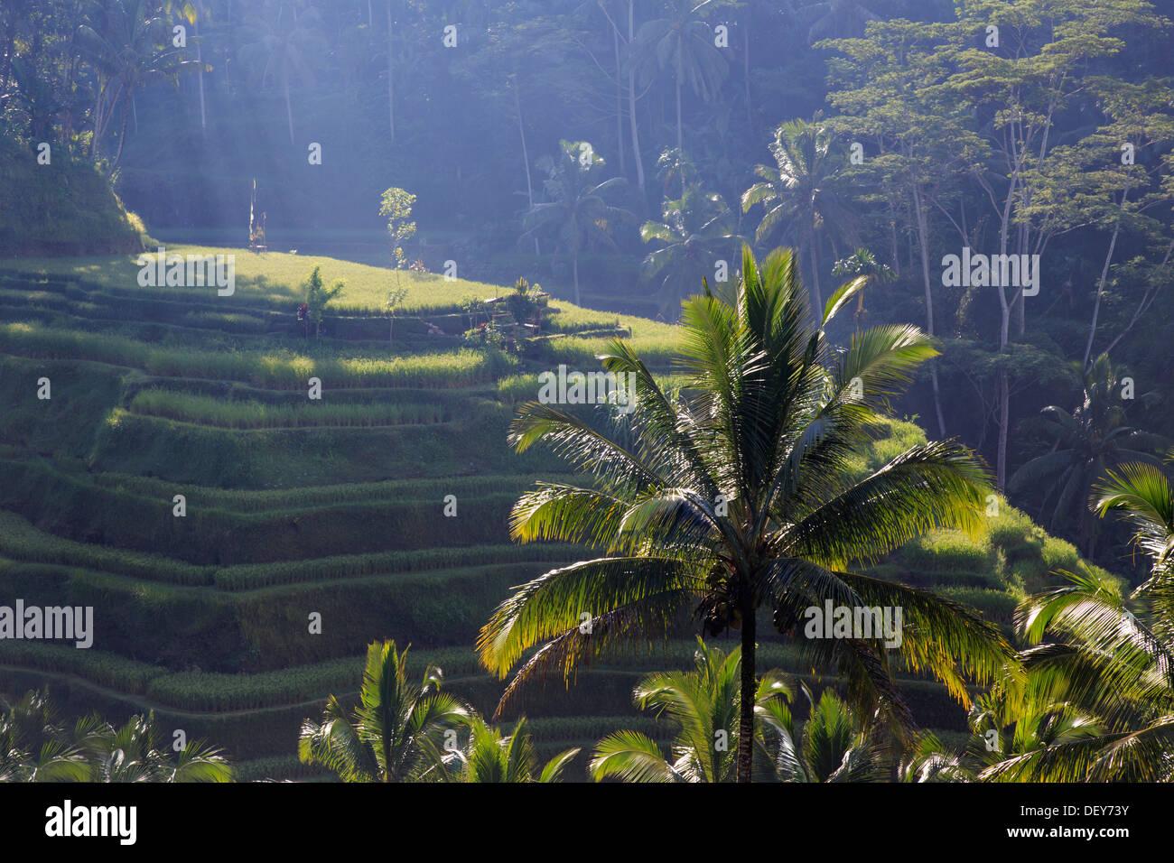 Indonesia, Bali, Ubud, Ceking Rice Terraces - Stock Image