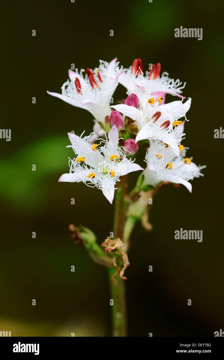 Bog-bean or Buckbean (Menyanthes trifoliata), flowers, North Rhine-Westphalia, Germany - Stock Image