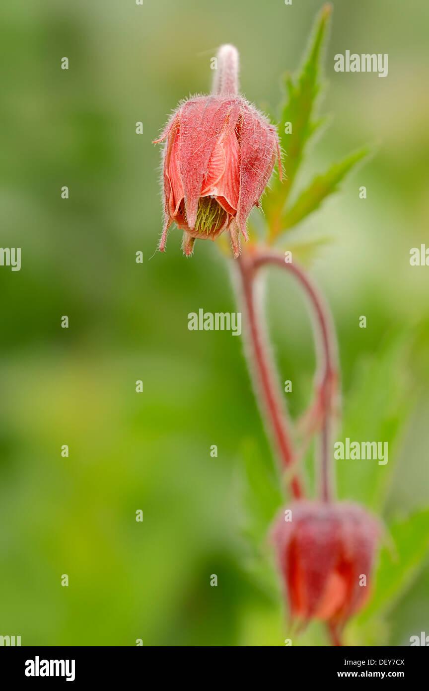 Water Avens or Purple Avens (Geum rival), flower, North Rhine-Westphalia, Germany - Stock Image
